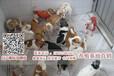 中山哪里有正规犬舍专业繁殖吉娃娃中山吉娃娃多少钱一只