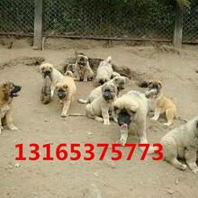 肉狗苗出售标准价格种狗回收多少钱一斤养殖基地引种图片