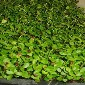 芽苗菜种植方法香椿芽四季无土栽培技术培训香椿芽苗种子图片