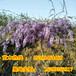 紫藤苗木花卉低價促銷