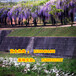 紫藤苗木花卉價格服務行業領先