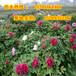 牡丹花苗批發價格多錢陜西綠化觀賞牡丹基地