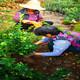 大葉黃秧圖