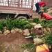 陜西庭院綠化冬青球教種植養護,黃洋樹苗