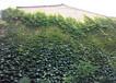 墻體綠化爬山虎移栽技術包教會,五葉地錦
