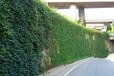 開花時間長就種風景樹爬山虎苗木春秋栽植成活好,常青藤