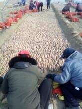 新一代脱毒种miao北京红薯苗