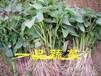 地瓜的保健作用及营养价值