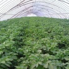 克新1号中熟品种土豆种子上海土豆种子厂家价格质量最好的土豆种子