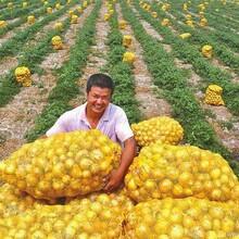 供应132-690-74040土豆种子-康因贝尔