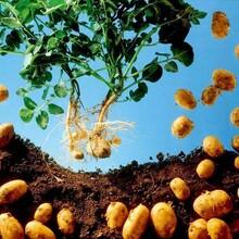 荷兰马铃薯种子全国最便宜的马铃薯种子公司质量最好的土豆种子
