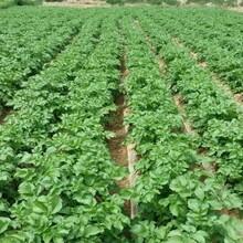 早熟品种荷兰7号是脱毒马铃薯种子