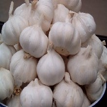 北京农科院最新培育的大蒜种子