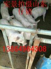 今日仔猪价格仔猪养殖后期管理图片
