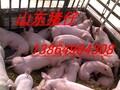 河南猪仔河南猪娃价格现在河南仔猪多少钱一斤图片