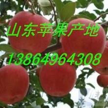 紅星蘋果產地哪里有紙袋紅星蘋果價格圖片