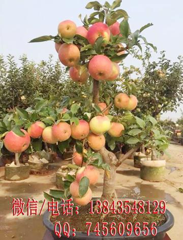 盆栽苹果矮化苹果苹果盆景盆栽苹果树苗矮化苹果树苗
