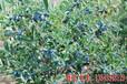 蓝靛果苗蓝靛果树苗蓝靛果忍冬苗耐寒果树苗