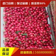 嫁接大樱桃树苗直销嫁接樱桃树苗嫁接大樱桃树苗多少钱哪里能买到纯正品种的大樱桃树苗