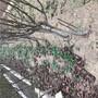 秋月梨树苗适不适合南北方种植江苏省秋月梨树苗报价图片