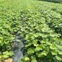 巨峰葡萄苗适不适合南北方种植黑龙江省巨峰葡萄苗报价图片