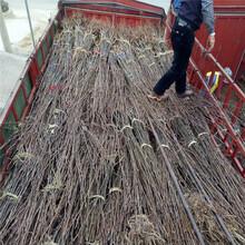 西藏在哪能買到無花果苗無花果苗報價圖片
