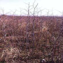 南岸枣树苗种植时间枣树苗栽培技术图片