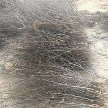 南岸枣树苗种植时间枣树苗报价图片