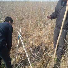 南岸在哪购买枣树苗枣树苗栽培技术图片