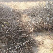 南岸枣树苗什么品种好枣树苗栽培技术图片