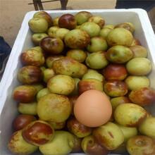 南岸枣树苗什么品种好枣树苗成活率怎么样图片