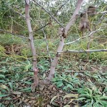 九龙坡在哪购买枣树苗枣树苗价格行情图片