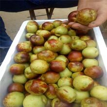 九龙坡在哪购买枣树苗枣树苗报价图片