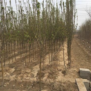 北京西府海棠树苗报价  1-3公分西府海棠树