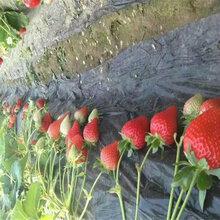 草莓苗草莓苗什么时候种赛娃草莓苗批发图片