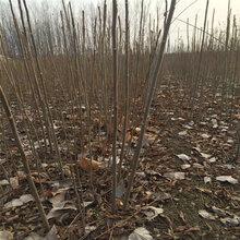 农民自产自销黑油香椿苗供应红油香椿苗袋苗图片