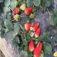 甜宝草莓苗应?#31859;?#24847;什么宝鸡苗木供应商图片