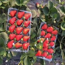 白草莓苗种植管理技术思茅苗木厂家图片