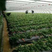 鶴壁全明星草莓苗的種植條件圖片