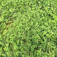安娜草莓苗选什么品种好防城港苗木厂家图片