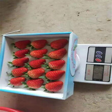 小白草莓苗的种植条件神农架苗木供应商图片