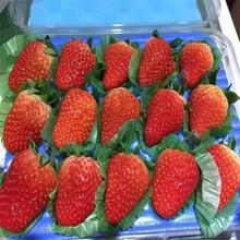 美香莎草莓苗选什么?#20998;?#22909;枣庄苗木厂家图片