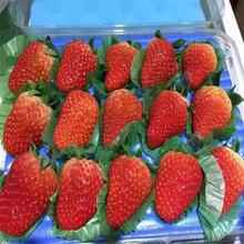 南開咖啡草莓苗品種不純怎么辦圖片