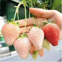 脱毒草莓苗培育方法?#35760;?#21335;京苗木供应商图片