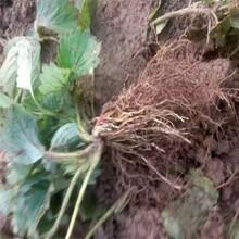 脱毒草莓苗实地考察去哪新北苗木供应商图片