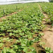 白雪公主草莓苗价格宝山苗木厂家图片