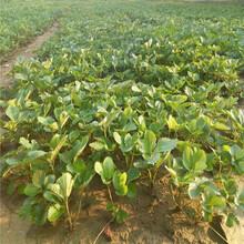 圣诞红草莓苗种?#24067;?#26415;广安苗木供应商图片