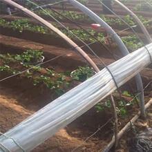 妙香7号草莓苗实地考察去哪保山苗木供应商图片