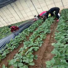 艳红草莓苗种植管理技术天津周边苗木供应商图片