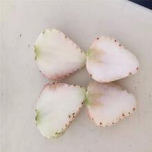 妙香草莓苗实地考察去哪临沧苗木厂家图片